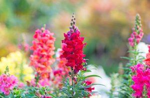 Milyen szép virág! Oroszlánszáj és jellemzői